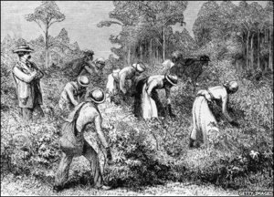 Texas slaves working in a cotton field.