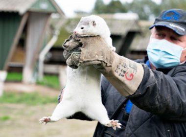Denmark mink